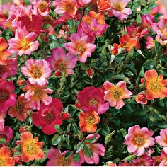 'Happy Chappy' apricot/pink groundcover rose, also good for borders, containers, & hanging baskets