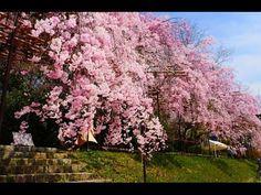 KYOTO JAPAN 京都観光の桜・満開の枝垂桜の名所 Weeping cherry trees spots in Kyoto 半木の道、平安神宮、京都府立植物園、 原谷苑。花の名所案内  日本の桜 - YouTube