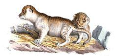 #Lioceaux de Barbarie ou #bébés #lions de l'Atlas. Les changements débutent dès la 1re année où les bandes dorsales disparaissent à peu près avec la première mue; les taches de la tête s'effacent puis en dernier les tâches des pattes. Si à l'âge d'un an les canines commencent à pousser, les lionceaux atteignent l'âge adulte qu'à 5 ans. Les mâles voient leur #crinière s'étoffer à partir de 3 ans, mais et c'est vers la 7e ou la 8e qu'elle se montre dans tout son développement #numelyo… Le Male, Lyon, Lion Sculpture, Statue, Lion Cub, Natural History, Stains, Beginning Sounds, Watch