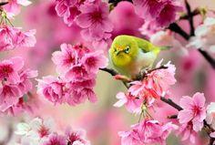 ウグイスとピンクの花の壁紙 | 壁紙キングダム PC・デスクトップ版
