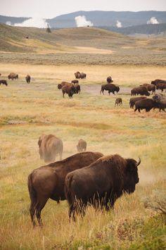 Bison in Yellowstone American Bison, American Animals, Native American Art, Especie Animal, Mundo Animal, Beautiful Creatures, Animals Beautiful, Cute Animals, Animal Bufalo
