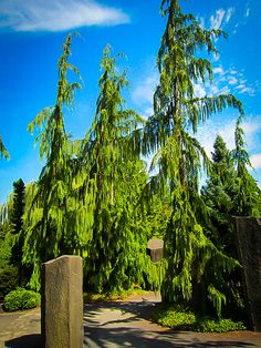 The Weeping Alaska Cedar is a beautiful evergreen tree of medium size that makes a striking specimen in the garden. It has an upright central trunk, and widely-
