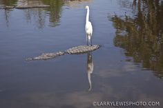 Gatorland, The Must Stop for Photographing Birds and Alligators in Orlando — Larry Lewis Photography Alligators, Larry, Orlando, Wildlife, Birds, Photography, Crocodiles, Bird, Photograph