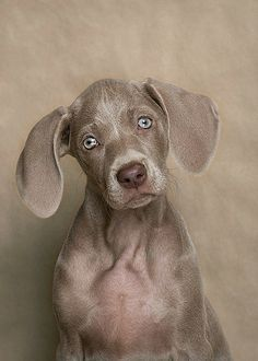 Weimaraner, the prettiest puppies ever Baby Dogs, Pet Dogs, Dog Cat, Doggies, Beautiful Dogs, Animals Beautiful, Cute Animals, I Love Dogs, Puppy Love