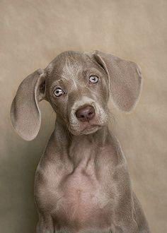 Pretty dog Weimaraner Spaniel Terrier Dog Photography Puppy Hounds Chien Puppies Pup