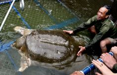 World's Largest Freshwater Turtle Nearly Extinct.   A Yangtze giant softshell turtle—one of the last four known—gets a checkup in Hanoi, Vietnam, in 2011.