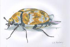 Varied Carpet beetle.