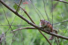 Eastern Chipmunk (Tamias striatus). [3000x2000] [OC] - http://ift.tt/1XG8pqk