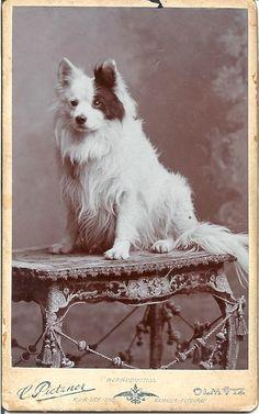CDV 1903 German Spitz  Photographer C. Pietzner, Olmutz (or today Olomouc, Czech Republic)