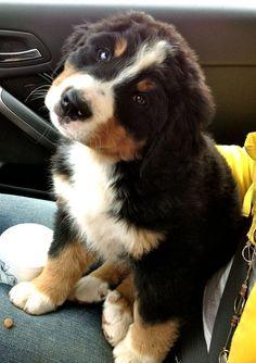 bentley the bernese mountain dog puppy :)