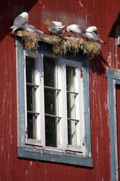 Pitoresque windows in Å fishing village, Lofoten {Visit Norway USA}