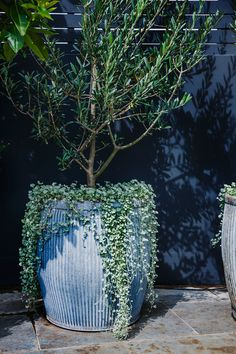 STYLE TIP - Tree Potting — Adam Robinson Design - Olive tree. A contemporary use for a classic. Image from Adam Robinson Design's Redfern Rooftop - Balcony Planters, Balcony Garden, Outdoor Pots, Outdoor Gardens, Roof Gardens, Planter Olivier, Olivier En Pot, Potted Olive Tree, Australian Native Garden