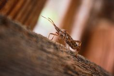 """What's That?"" Wednesday: Western Conifer Seed Bug All about western conifer seed bugs with printable fact and activity sheet!"