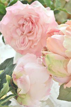 Prefect pale pink roses on the bush! Romantic Roses, Beautiful Roses, House Beautiful, Love Rose, Pretty Flowers, Pink Roses, Pink Flowers, Pale Pink, Pink Peonies