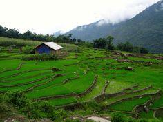 Rice fields in Sapa
