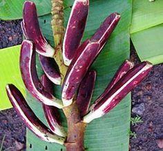 10 Samen 10 seeds musa cheesmanii,sehr seltene Bananenart