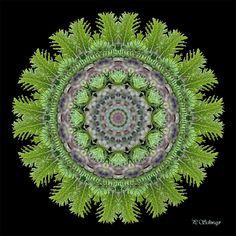 Mandala ''Tannenwipfel'' Kreatives by Petra Petra, Macro Photo, Photoshop, Summer Winter, Canon, Autumn, Nature, Photos, Mandalas
