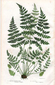 Antique Fern Print Botanical Art Pratt 1899 by AntiquarianPrints, $15.00