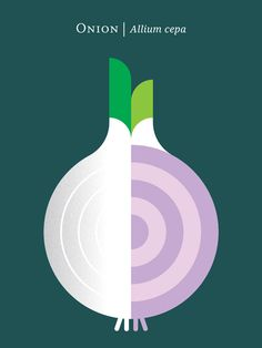 Onion – Allium cepa – poster illustration by Christopher Dina.
