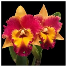 Buy from Varieties of Orchid Plants online All India Delivery Orchid Tree, Orchid Plants, Dendrobium Orchids, Phalaenopsis Orchid, Rare Flowers, Yellow Flowers, Orchid Varieties, Christmas Rose, Plants Online