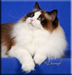 A Bicolor seal point Ragdoll kitten from this breeder is my dream kitty.