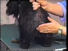 Grooming the Rear Assembly ( Charthill Scottish Terrier Grooming Tutorial ). mp4 - YouTube
