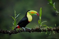 https://flic.kr/p/RZRAQQ | Keel-billed Toucan, Costa Rica. | Froot Loops any one?  Many thanks for your comments, faves, and follows :) Juan Carlos   BLOG: Click Here  MY WEBSITE: Juan Carlos Vindas Photography  YOUTUBE CHANNEL: Click Here  Google + | Facebook | Twitter | 1X Photo | Instagram  ©Juan Carlos Vindas, All Rights Reserved.This image is protected by Copyright, and is not available for use on websites, bl...