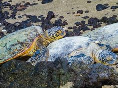 The rare green sea turtle, shown here on a volcanic beach in the Pacific, made a mysterious reappearance on Bermuda's shores in 2015. (GeorgeBurba / iStock)