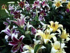 Как лучше посадить лилии