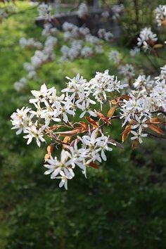 Blüten der Felsenbirne Parks, Landscape Nursery, Elder Flower, Insects, Parkas