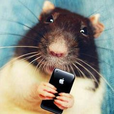 rats.....the most intelligent of all pocket pets