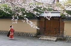 Japan - Maiko walking under cherry blossoms in Kyoto