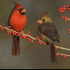 Male & female cardinals