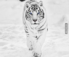 So majestic, white tiger with blue eyes.