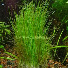 Aquatic Plants for Freshwater Aquariums: Dwarf Hairgrass