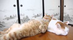 A clever orange tabby cat named Tora uses his napping pal Mimi as nice, comfy pillow upon which to rest his sleepy little head. This is quite a change, as both cats, along with the rest shironekosh...