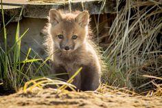 Cape Breton, Foxes, Wildlife, Island, Photography, Art, Art Background, Photograph, Islands