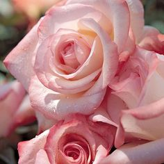 An award-winning hybrid tea Rose with large, bicolor blooms of cream and coral. You'll love these fully double to blooms, each packed with 25 to 30 petals held in perfectly symmetrical whorls. Beautiful Roses, Beautiful Flowers, Romantic Roses, Ronsard Rose, Rose Care, Hybrid Tea Roses, Rose Bush, Climbing Roses, Pink Roses