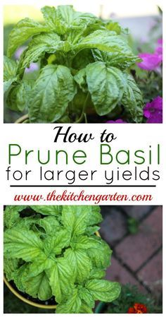 Hydroponic Gardening DIY Garden Idea - Easily prune your basil plants for larger yields with just a few quick snips. Fuller, larger basil plants will provide you with fresh herbs all summer! Growing Herbs, Pruning Basil, Container Gardening, Hydroponic Gardening, Plant Care, Basil Plant, Veggie Garden, Growing Vegetables, Plants
