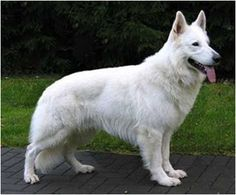 My girl actually looks a lot like this--all white Husky, Staffordshire, Dachsund, White Swiss Shepard mix German Shepherd Pictures, German Shepherd Puppies, German Shepherds, Siberian Husky Puppies, Husky Puppy, Horses And Dogs, Dogs And Puppies, Doggies, All White Husky