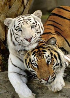 Best Friends Forever White Tiger and Bengal Tiger Beautiful Cats, Animals Beautiful, Cute Animals, Wild Animals, Baby Animals, Amazing Animals, Jungle Animals, Beautiful Couple, Funny Animals