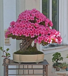 Providing the best care to your bonsai tree will help prolong its life – find out how. Bonsai Art, Bonsai Plants, Bonsai Garden, Garden Trees, Trees To Plant, Bonsai Trees, Bonsai Azalea, Indoor Bonsai, Sweet Violets