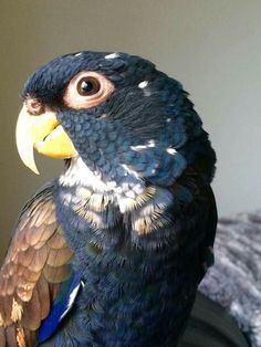 Quincy, a beautiful bronze wing Pionus