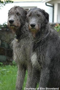 Okay, if I didn't love Airedales and Welsh Terriers so much, I'd insist on having a couple of Irish Wolfhounds around. Such beautiful, gentle dogs.