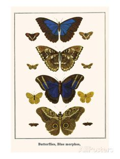 Vintage Butterfly Series 1 Print No. 7 Giclee by BelleBotanica Vintage Butterfly, Butterfly Art, Morpho Butterfly, Blue Morpho, Butterfly House, Butterfly Tattoos, Butterfly Painting, Butterfly Illustration, Nature Prints
