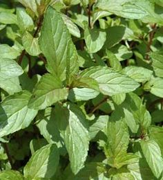 Chocolate Mint Plant:  This amazing leaf can be added to brownies, cakes and ice creams and even cocktails. You can even steep it in a cup of hot water to get the chocolate mint flavor and aroma without the sugar.