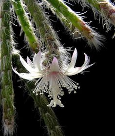 Cactus flowers: Rhipsalis pilocarpa - like a veil, so beautiful.