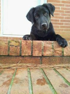 Puppy love♥ black labrador♥
