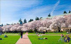 UW Cherry Blossoms: The Quad