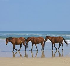 Corolla Wild Horses  we road our horses next to them very cool,can not wait to come back:)